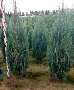 Juniperus Blue Arrow 120-140cm