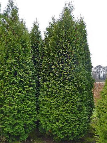 Thuja occidentalis Brabant | Co10-20 | 160-180 cm Thuja Planet AS
