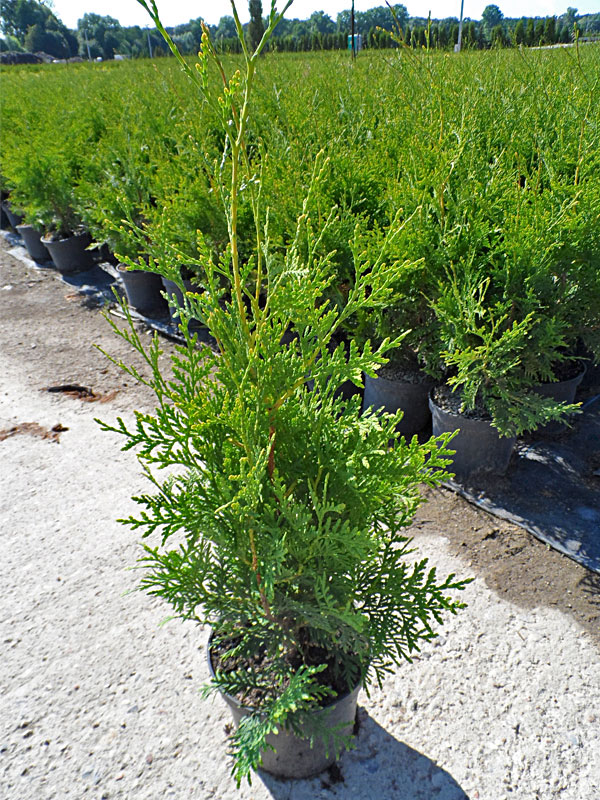 Thuja occidentalis Brabant | Co2-3 | 40-60 cm Thuja Planet AS